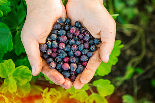 High angle view of hands holding blueberries