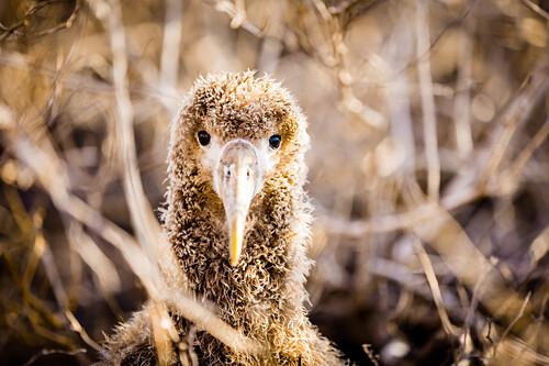 Baby albatross on Epanola Island, Galapagos Islands, Ecuador, South America