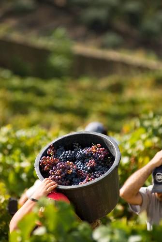 Grape-picking, Quinta do Caravalhos, Pinhao, Douro, Portugal