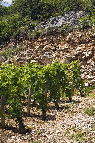 Old Pinot Noir vines, Premier-Cru above Nuits-Saint-Georges with stony, red soil Burgundy, France