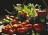 Assorted Tomato Still Life