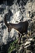 Rock Goat on Alpstein