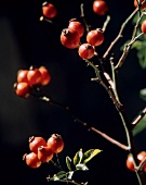 Ripe Rose Hips on a Branch