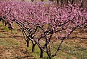 Blooming Peach Trees in Rhone Valley