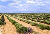 A Lavender Field
