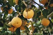 Sharon fruit on the tree
