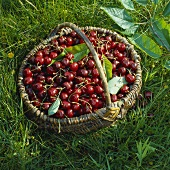 Basket with Freshly Picked Cherries