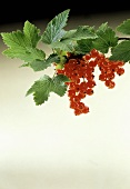 Red Currants on a Branch with Leaves