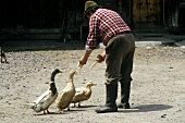 Ducks are fed on the Farm
