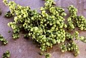 Freshly harvested hops