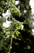 Hops Growing on the Branch