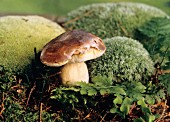 Cep in the Forest Surrounded by Moss