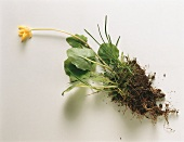 Pilewort with Roots