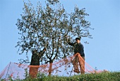 Olive harvest in Veneto