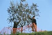 Olive harvest in Veneto