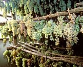 Grapes are drying for Vin Santo