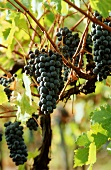 Red wine grapes in Chianti Classico region, Tuscany, Italy