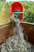 Tipping Sangiovese grapes into a vat