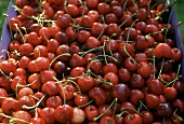 Many Morello Cherries