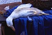 Eine tote weiße Gans auf Holztisch