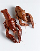 Two Lobsters: One Cooked one Alive