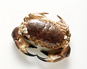 A boiled Common Edible Crab