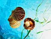 Whole and Open Scallop Shells; Blue Water; Ice
