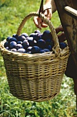 Harvesting Plums in an Orchard