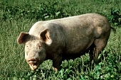 Domesticated pig in the pasture