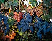 Cabernet Sauvignon-Trauben, Napa Valley, Kalifornien, USA