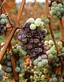 Botrytis attacking Riesling grapes