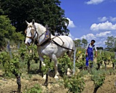 Ploughing on the hillside at Chateau Magdelaine, St-Emilion, Bordeaux