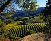 Vichon Vineyard in the Napa Valley, California, USA