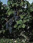 Lesereife Cabernet Sauvignon-Trauben im Medoc, Frankreich