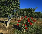Cabernet Sauvignon-Reben zur Lesezeit in Gironde, Frankreich