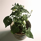 Tomato plants with flowers & green tomatoes in a pot