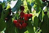 Cherries Growing on a Tree