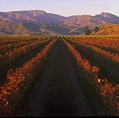 Pinot Noir vineyard for Cloudy Bay in Marlborough, New Zealand