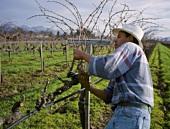Pruning Merlot vines in Frog's Leap Vineyard, Napa Valley, USA