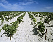 Palomino vines on Lustau's chalky soil, Jerez, Spain