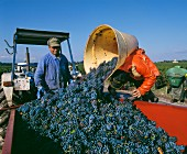 Unloading Cabernet Franc from the tub, Margaux in Bordeaux