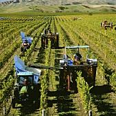 Harvesters, Montana's Brancott Estate, Marlborough, N. Zealand