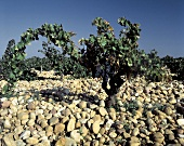Stones Provide the Flooring For the Vineyards For Chateauneuf-du-Pape