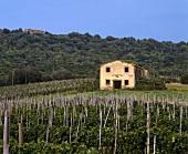 Merlot vineyard of Tenuta Ornellaia, Bolgheri, Tuscany