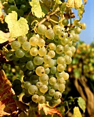 Chasselas, also grown as a table grape