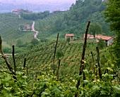 Reben nahe der Prosecco-Weinstraße bei Valdobbiadene, Veneto
