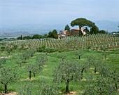 Olive trees near vineyard, Frascati, Albano Mountains, Latium