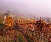 Vineyard in autumn mist, La Morra, Barolo region, Piedmont