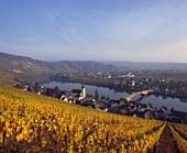 Herbst: Riesling-Reben im Goldtröpfchen über Piesport, Mosel