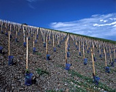 New vineyard on the slaty soil of the Schwarzhofberg, Saar